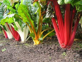 pflanzen-garten-gemuese-salat-bunte-staengel-mangold